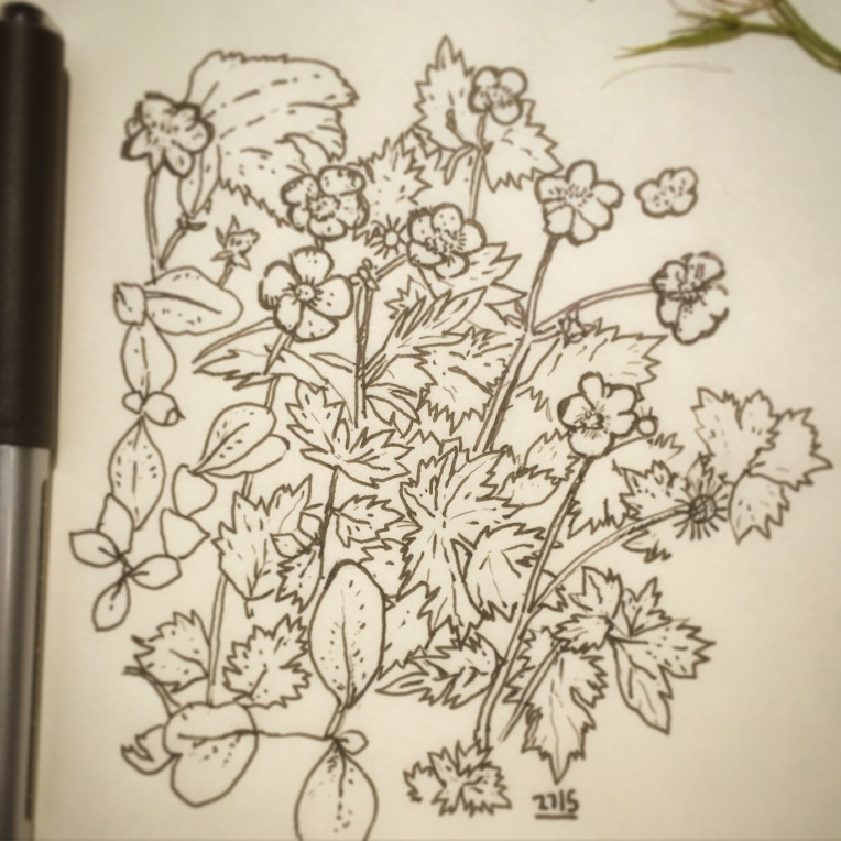 83/365 Week off art. Drawing the bed before the weeding. Buttercups and honeysuckle. I am officially in 3rd gear. Straight to Uni-ball micro. 30 mins. Notebook: Ethel.